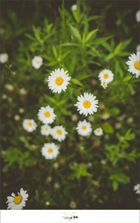daisies, yellow and white flowers, greenery, Twig and Olive