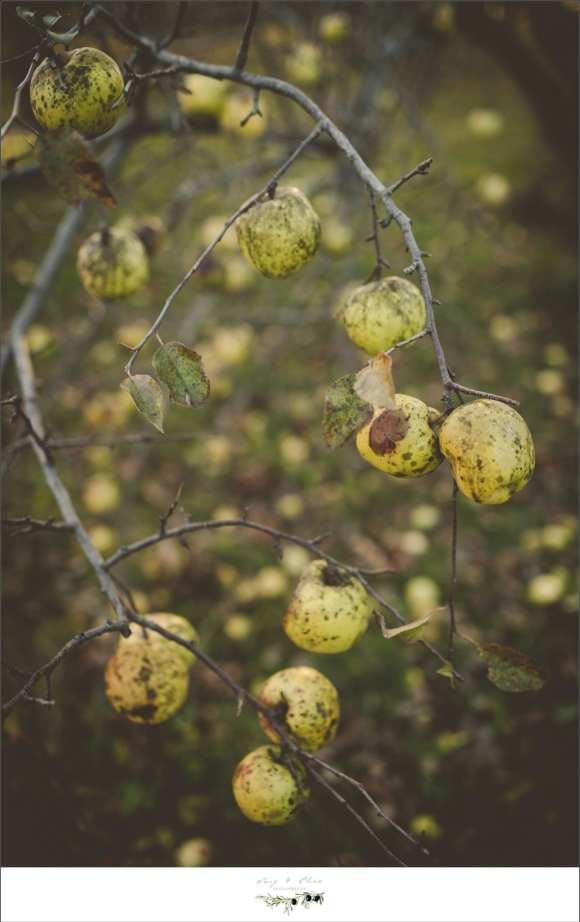 late season apples