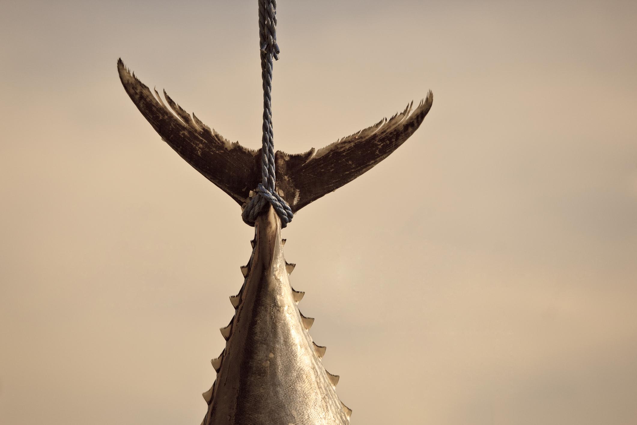 Lynching of bluefin tuna.