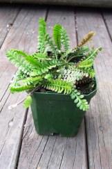 Leptinella dioica