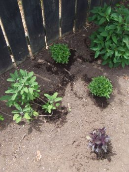 Sage (left), Basil 'Spicy Globe, purple basil 'Dark Opal' and pineapple sage (back).