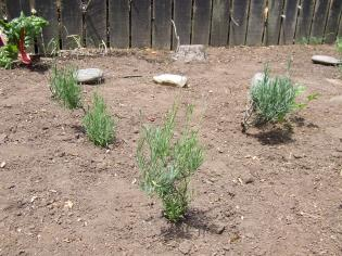 The lavenders are looking a bit scraggly but they'll come right with repeated light trimming and some time. And keeping The Little Fulla off the garden.