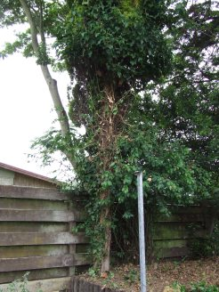 You can see where The Husband has hacked ivy and branches off the tall, narrow, yellow conifer tree.