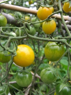 Tomato 'Gold Nugget' is like gold in the vege garden.