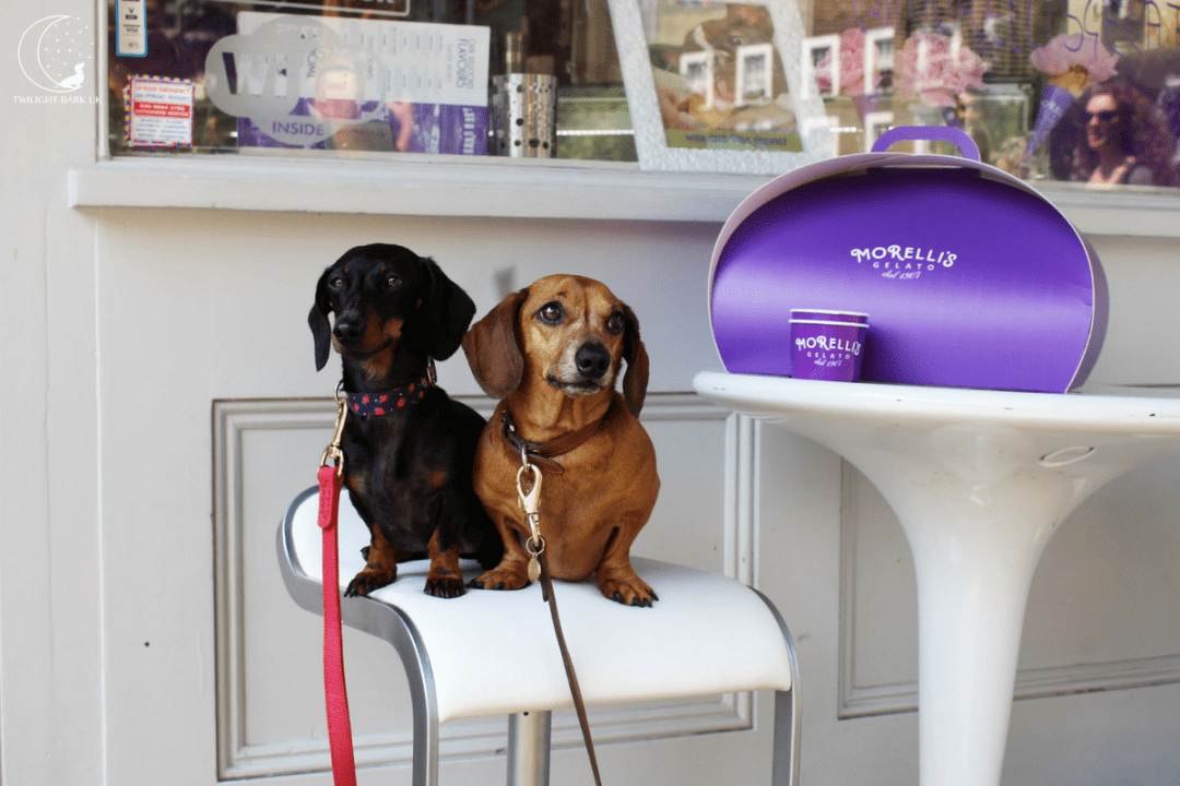 Two dachshunds outside Morelli's Gelato