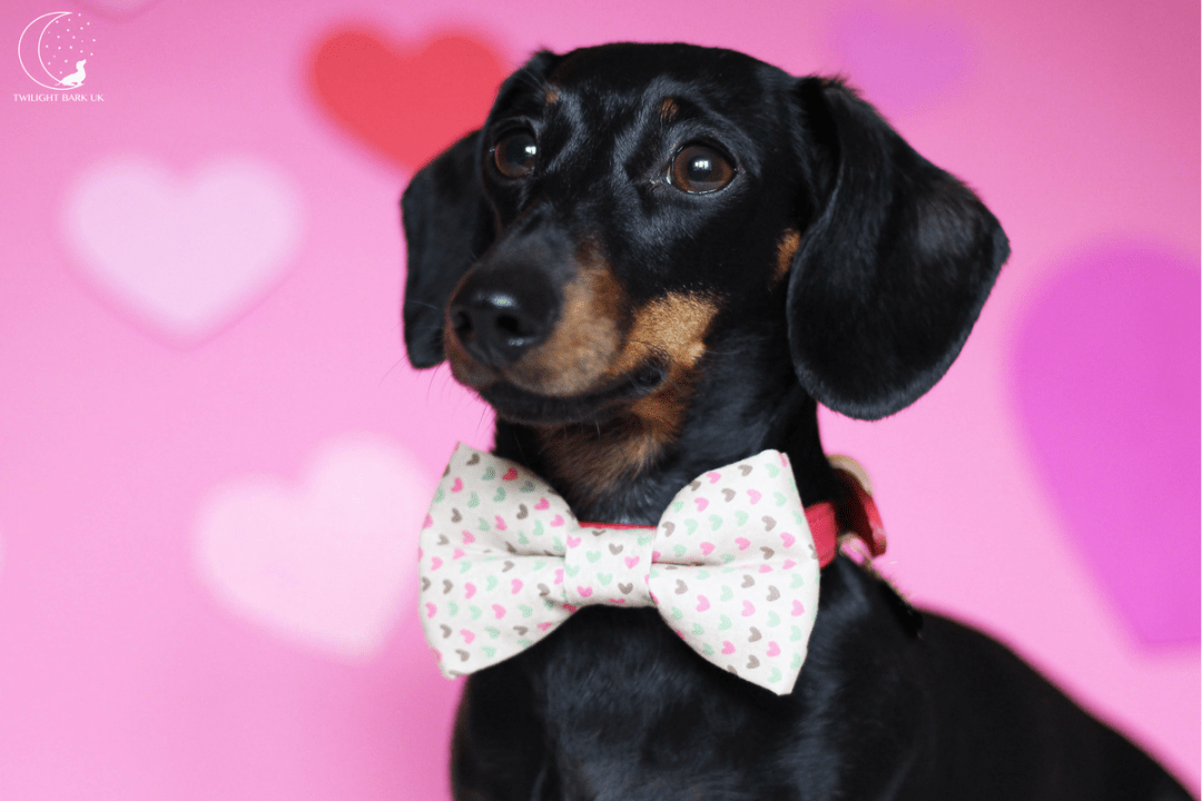 Millie in Bow Tie from The Distinguished Dog Company