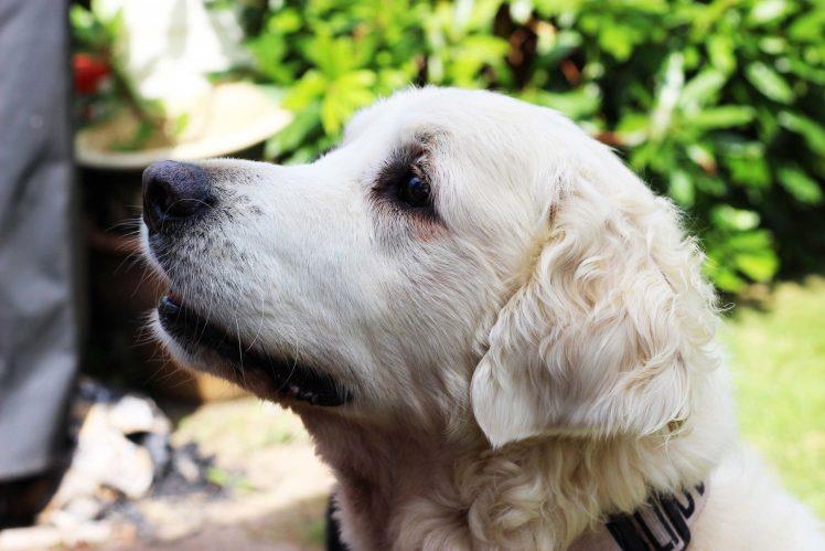 Arthur Guide Dog Golden Retriever
