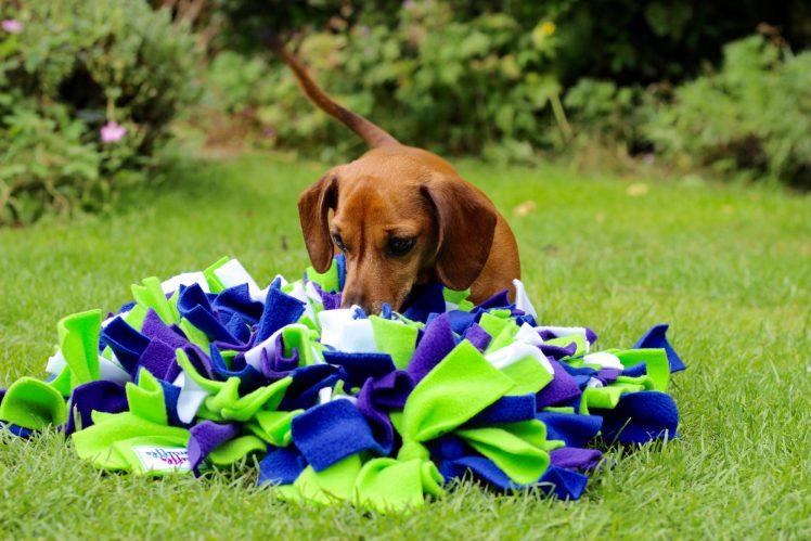 Dachshund, Miniature dachshund, Ruffle Snuffle