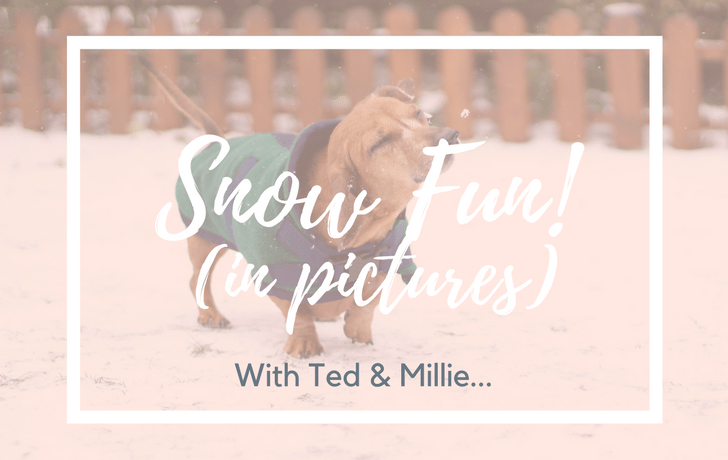 Dachshund Through The Snow! Ted & Millie in pictures