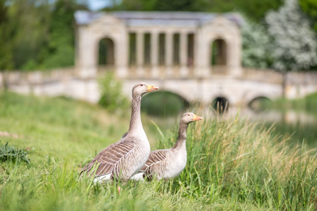 Click to discover why the National Trust dog walks at Stowe make an incredible day out with your dog. Picture shows two geese at Palladian Bridge.