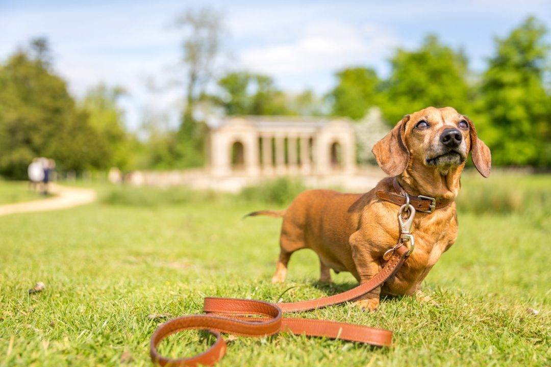 Click to discover why the National Trust dog walks at Stowe make an incredible day out with your dog. Picture shows our dachshund, Ted from Twilight Bark UK at Palladian Bridge.
