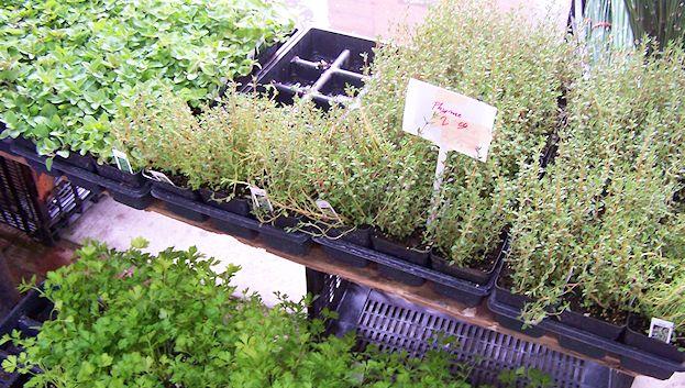 More herbs seedlings for sale.