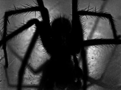 A close-up silhouette of a black, spider