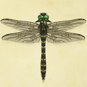 banded dragonfly in animal crossing new horizons