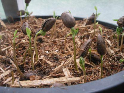 Asimina triloba sprouting