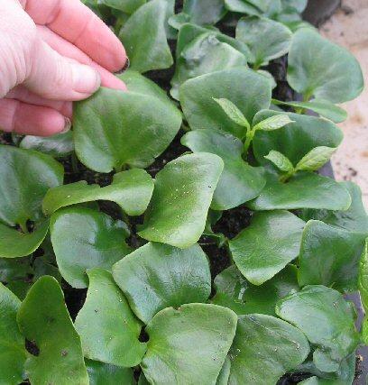 calycanthus seedlings