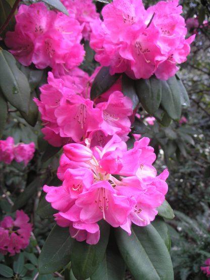 rhododendron oreodoxa fargesii