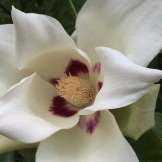 magnolia ashei flower