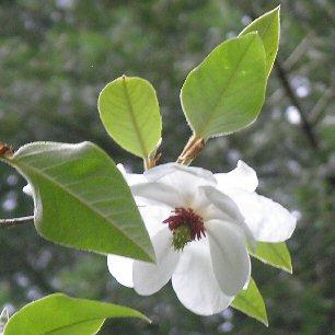 magnolia wilsoni