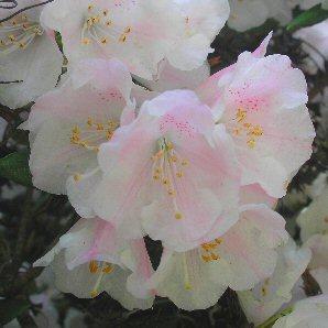 Rhododendron anwheiense