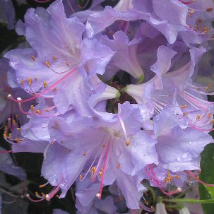 rhododendron-augustinii