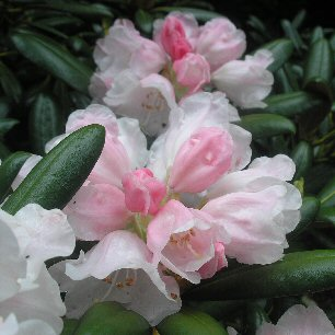 Rhododendron degronianum ssp yakushimanum