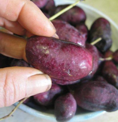 Holboellia fruit