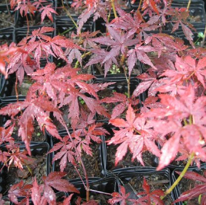 various red Japanese maple seedlings