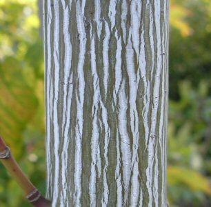 Acer pensylvanicum bark