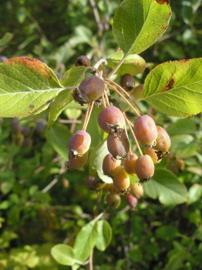 Malus fusca fruit