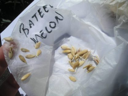 Germinating Bateekh Samara seeds
