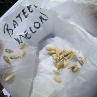 Germinating Bateekh Samara seeds