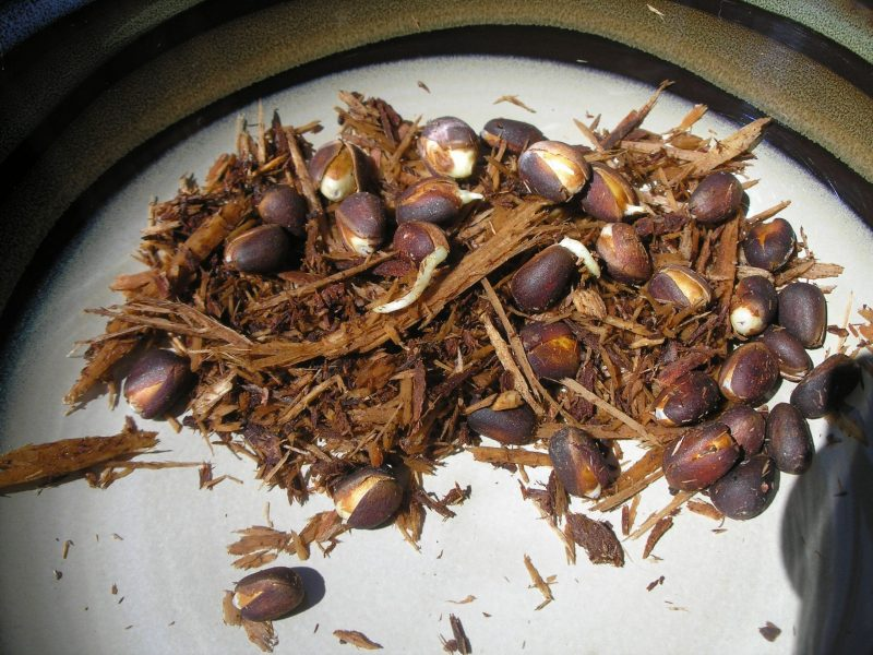 nuts for planting from Syberia Cedar sibirica seeds