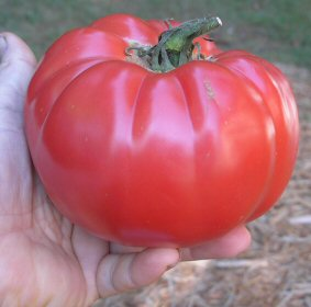 "Tomato ""Mortgage Lifter"""