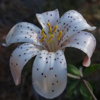 lilium washingtonianum wiki