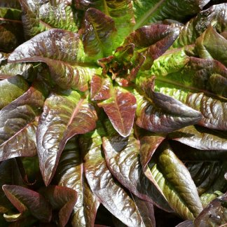 "Lettuce ""Devil's Ear"""