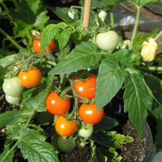 Tomato Micro Tom