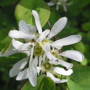 Amelanchier alnifolia flowers