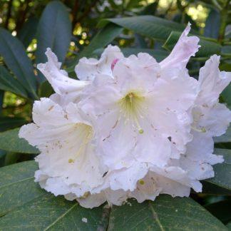 Rhododendron glanduliferum wiki