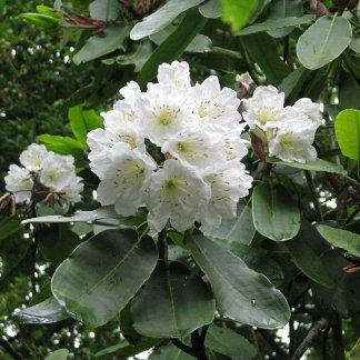 Rhododendron hemsleyanum wiki