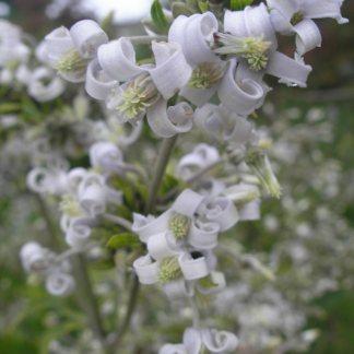 Clematis heraclefolia.