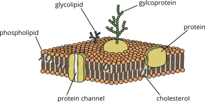 Cell structure: cell membrane