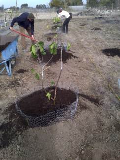 Louis and Jana planting the fig trees