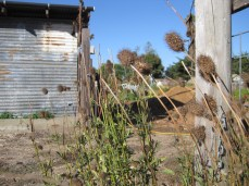 Seed heads and shed
