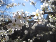 Beautiful Blossoms Blue sky