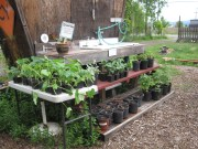 Plant sale Squash