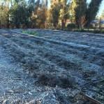 Frosty Back crop rows