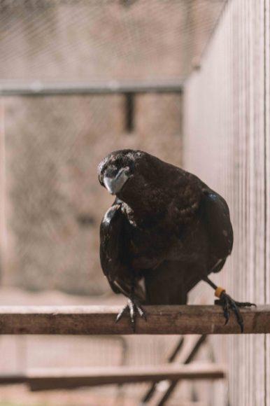 ravens, tower of London