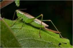 Gewoon spitskopje (Conocephalus dorsalis)