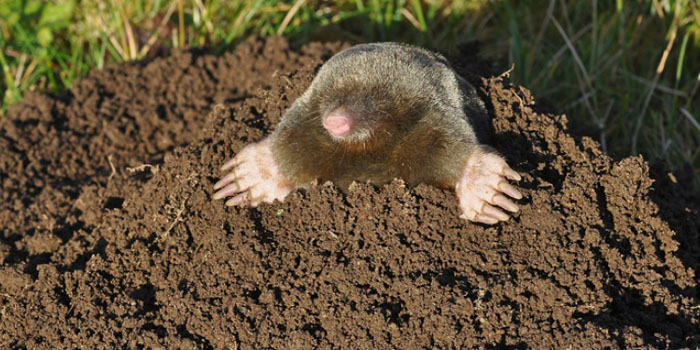 spring lawn care- - winter lawn damage - moles - voles